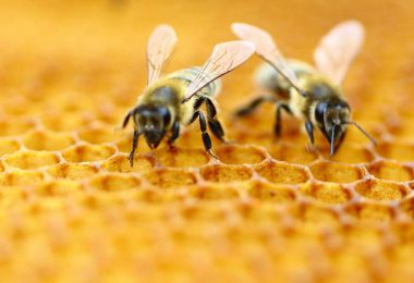 vaccino per salvare le api dalla peste